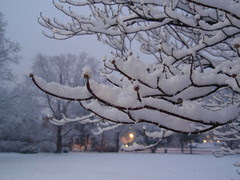 snowy branches (2)