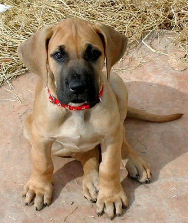 Great Dane Puppies For Sale In Northwest Territories Canada