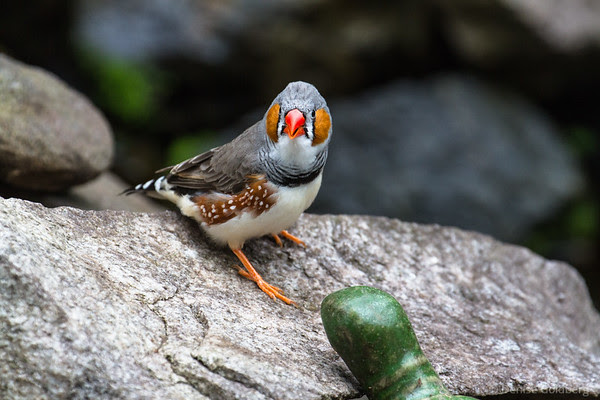 zebra finch, talking to me!