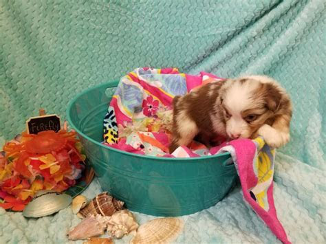 Shamrock Rose Aussies   ? EXCITING NEWS!!! 2 Litters