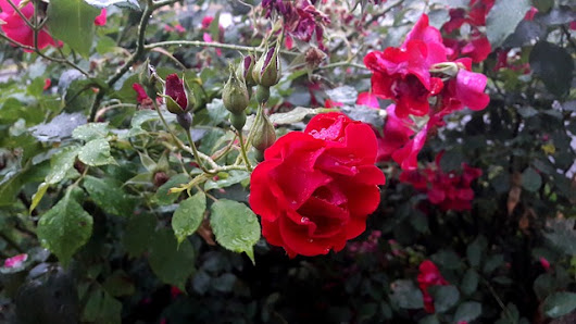 Don't Prune Roses In Fall! Here is why... - The Plant Guide