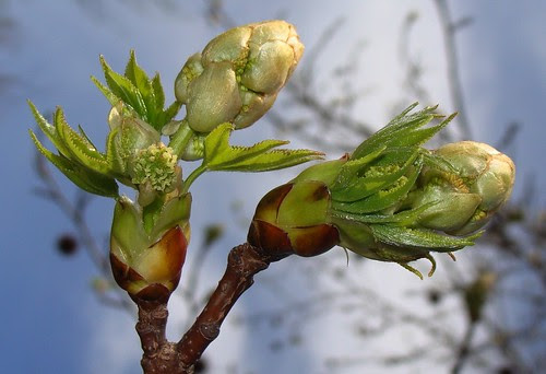Sweetgum bud, opened, showing both new leaves and flowers by Martin LaBar