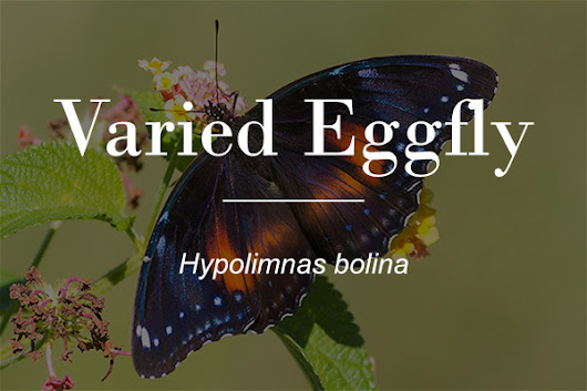The Varied Eggfly Butterfly (Hypolimnas bolina) - Macrokosm