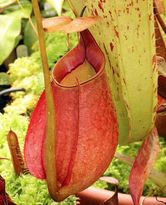Nepenthes bicalcarata - Carnivorous Plant Resource