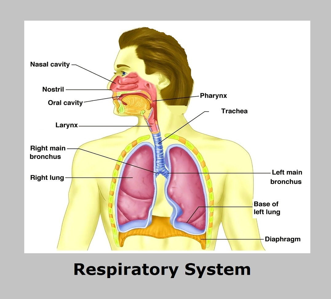 Diagram Of Human Respiratory System With Labels Human Body Anatomy