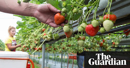 Red alert: UK farmers warn of soft fruit shortage | Business | The Guardian