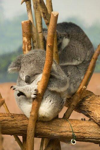 Спят усталые игрушки, мишки (коалы) спят....