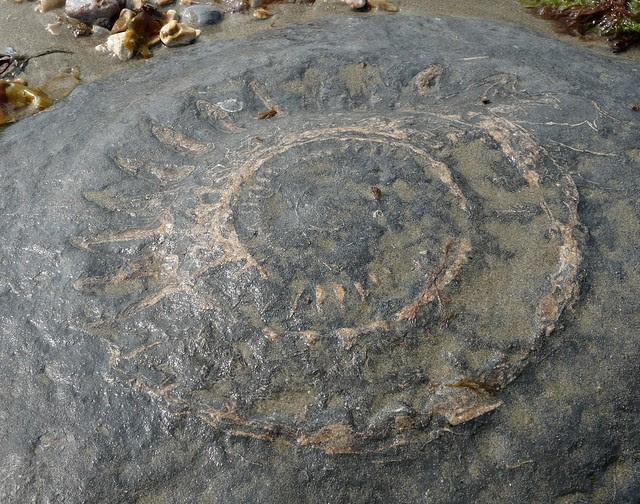 24255 - Fossil Ammonite, Lyme Regis