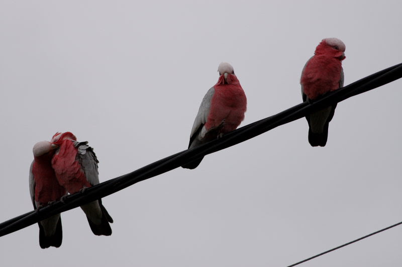 Galahs on telephone wire at Coonabarabran. Took pic while waiting for my bus to Lithgow.