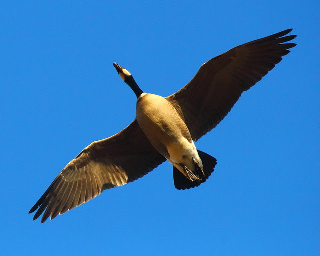 IMG_1751 Aleutian Cackling Goose
