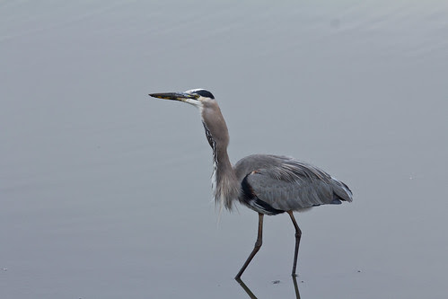 Great Blue Heron eating fish
