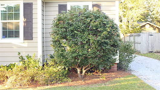 How to Prune Bushes to Look like Trees | Today's Homeowner