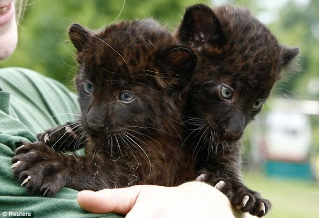 Детеныши пантеры с синими глазами. Фото