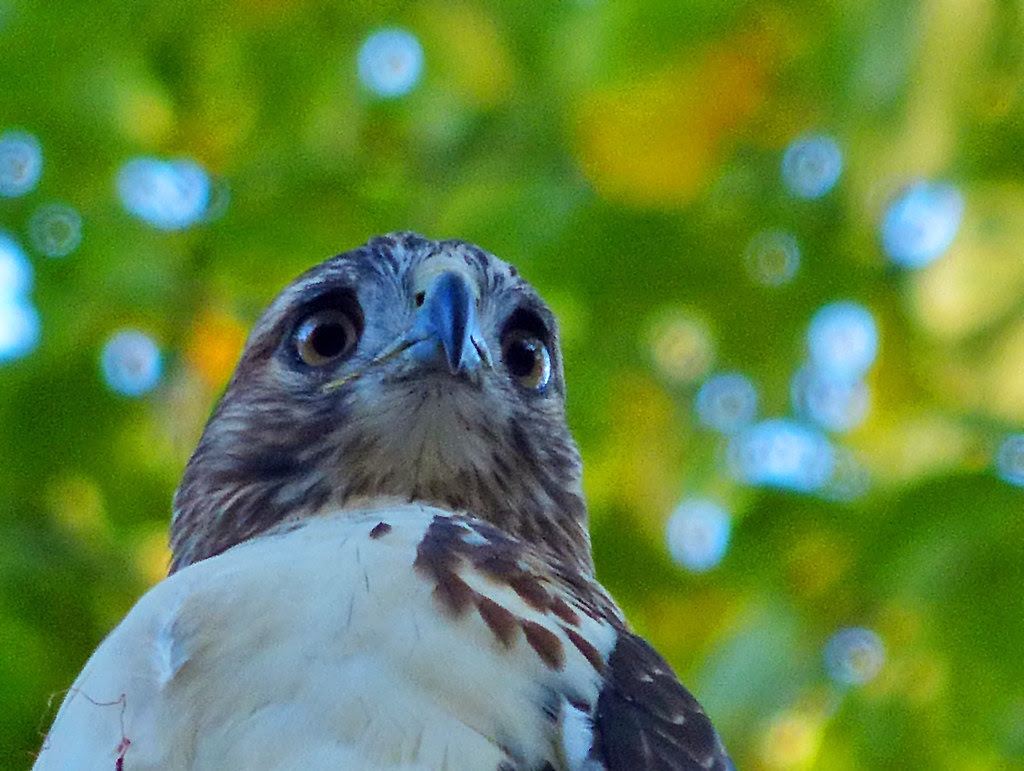 Red-tail in Tompkins Square