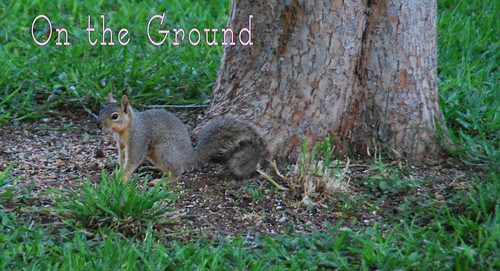 Ground-Sqirrel