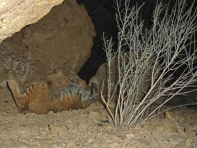 bobcat roll