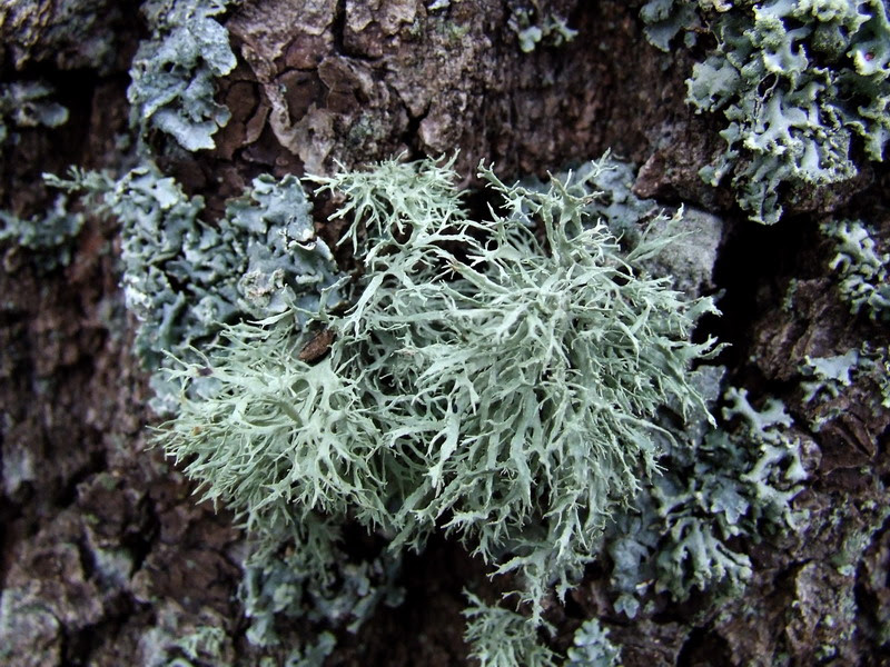 Evernia prunastri1