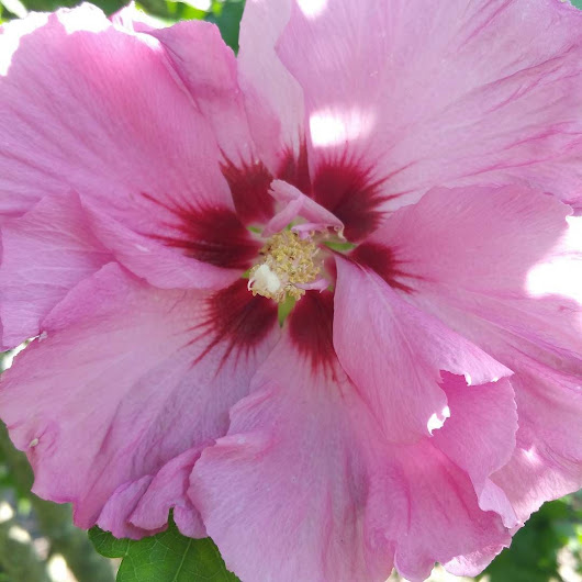 First Rose of Sharon
