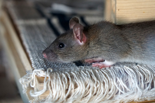 How to Keep Rodents Out During the Rainy Season