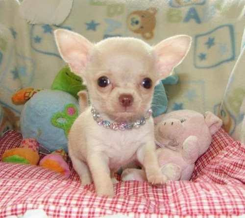 Chihuahua-Lindos-Y-Adorables-Cachorritos-Cabeza-De-Manzana-20141110012342