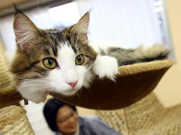 cat cafe chat japon tokyo 2 Cafe Neko No Mise : Le Café des Chats à Tokyo