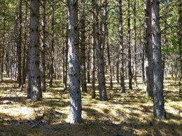 Bosque, pinar, pinos, madera