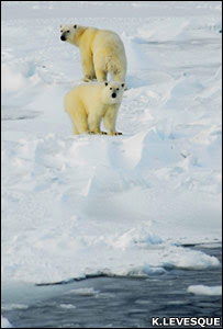 Polar bears (Keith Levesque)