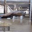 Sea lion blows scientists' minds by head-bobbing to the Backstreet Boys