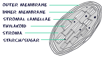 cell_chloroplast1
