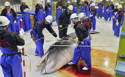 Japan's whaling fleet returns from Antarctic with 333 minke whales including pregnant females