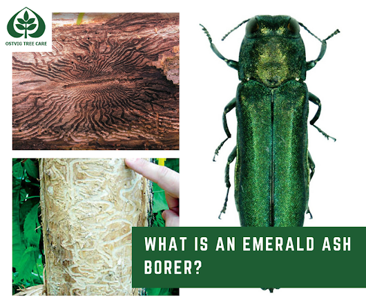 What Is Emerald Ash Borer and How Do I Get Rid of Them?