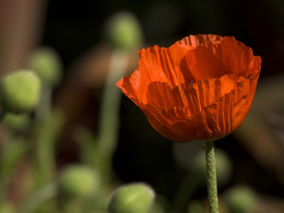 The opium poppy, the most common source of opium and morphine.