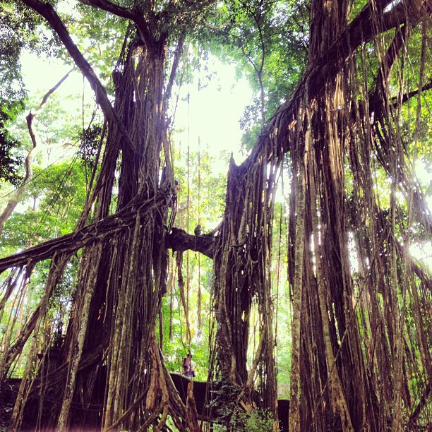 The magnificent trees of monkey temple. #ubud #travel #bali #indonesia