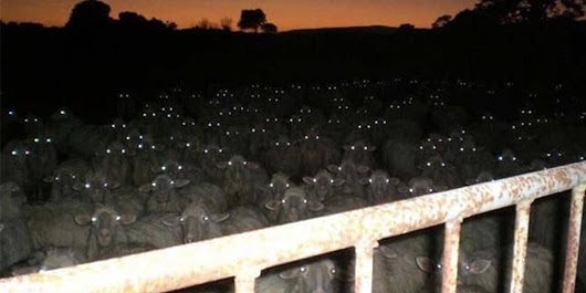 So this is why you shouldn't use a flash when photographing your sheep in the sunset - The Poke