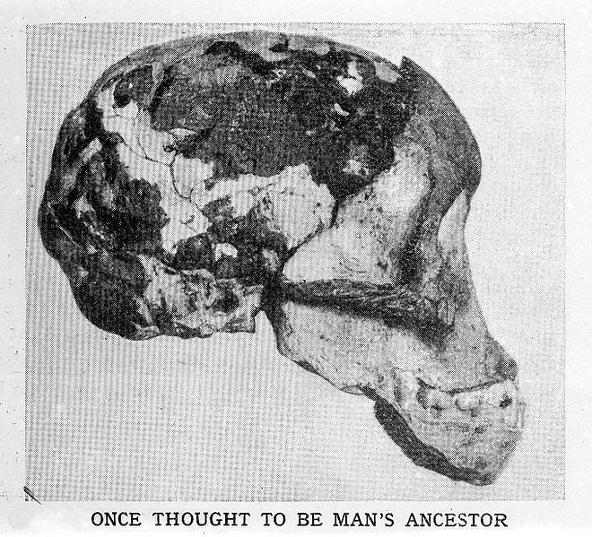 File:Skull of Ape Man thought to be man's ancestor. Wellcome M0001150.jpg