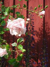Några av mina rosor.