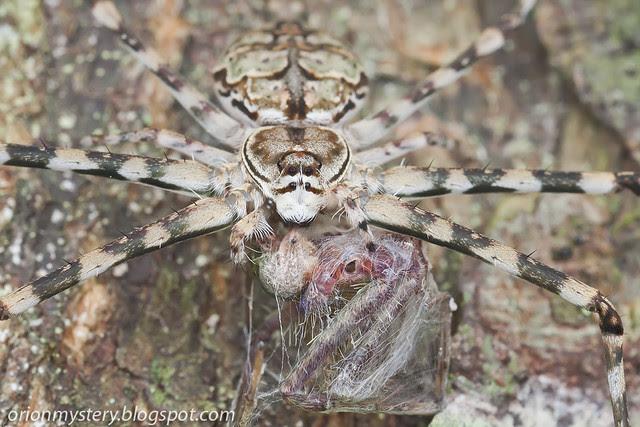IMG_9691 copy Hersilia sp. spider with prey