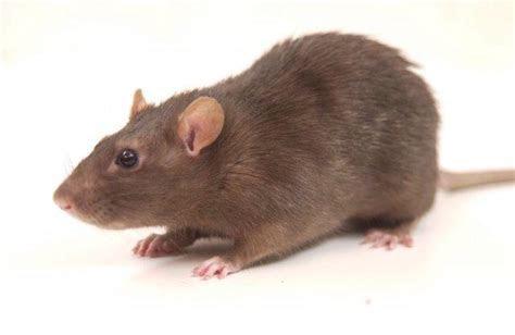 Rodents   Atlanta Pest Control   Strategic Industries
