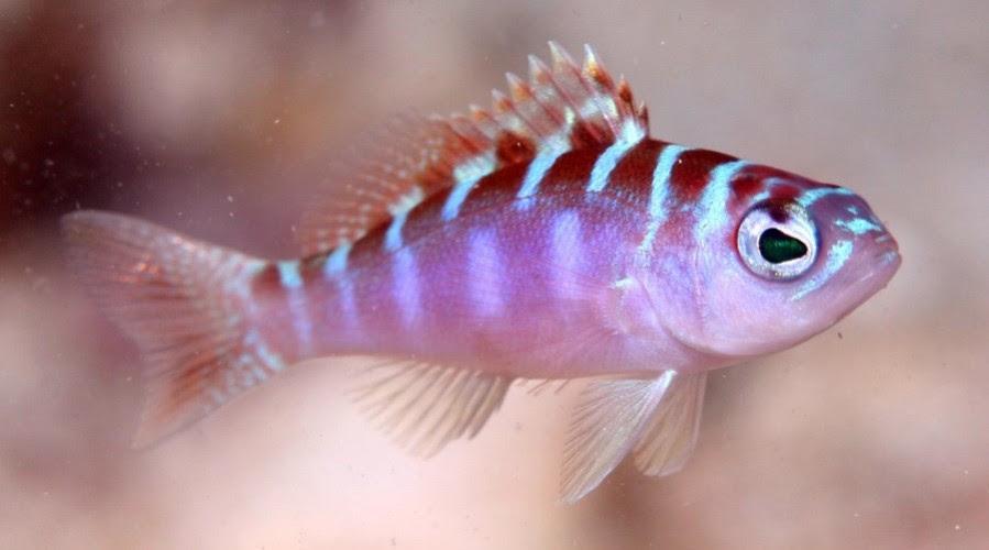 peixe-hermafrodita-troca-de-sexo-vezes-por-dia