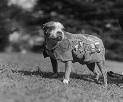 Sergeant Stubby.jpg
