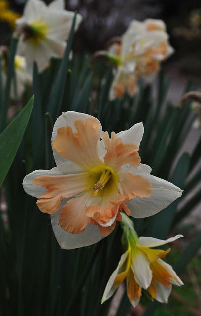 Narcissus (7)