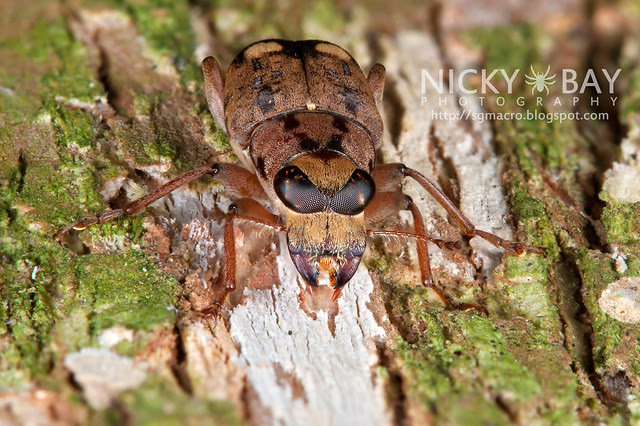 Fungus Weevil (Anthribidae) - DSC_2388