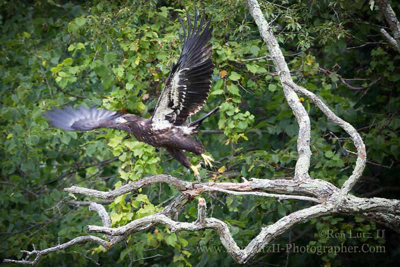 Governor; Dodge; State; Park; Western; Coulee; Ridges; Wisconsin; WI; eagle; bald; bird; haliaeetus; leucocephalus; raptor; young; juvenile
