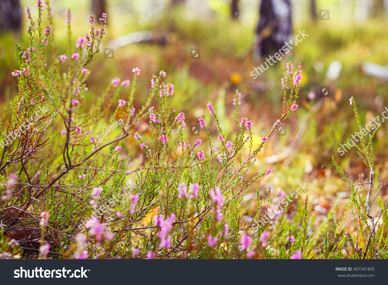 Closeup of blooming heather in the autumn forest