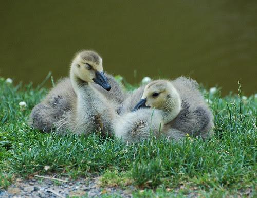 Morningside Goslings