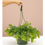 English Ivy for Delivery | Indoors Plants | Easy to Care - Lively Root