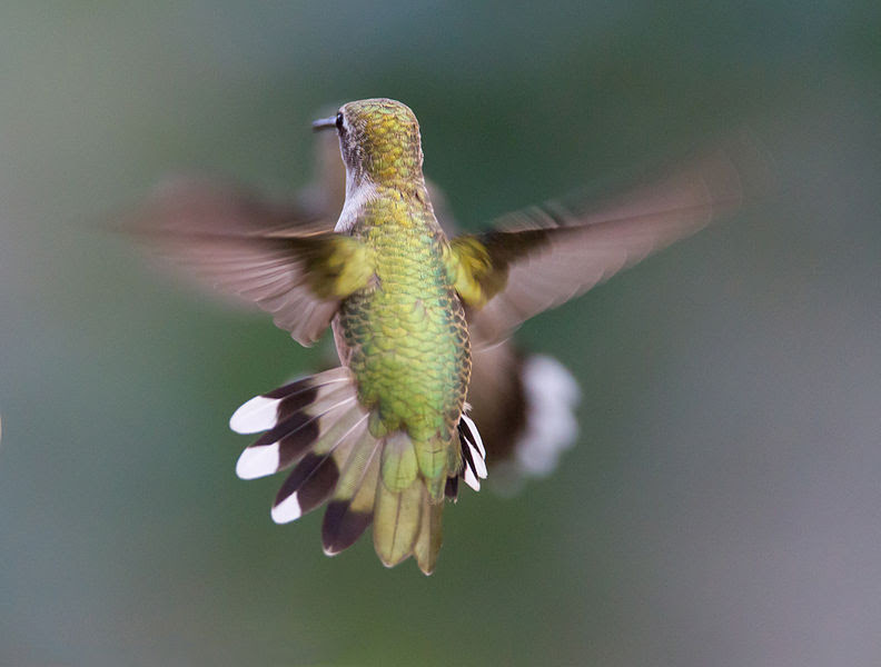 File:Hummingbird Aerodynamics of flight.jpg
