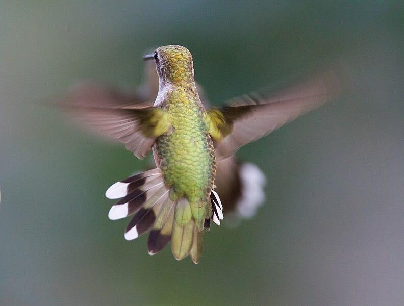 File:Hummingbird Aerodynamics of flight.jpg