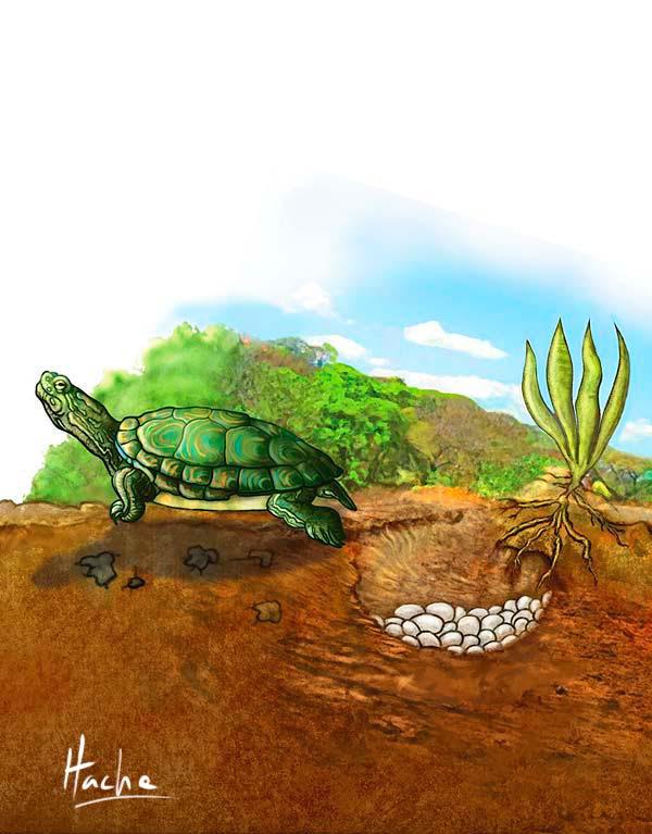Ilustración Nido Hicotea por Hache Holguin