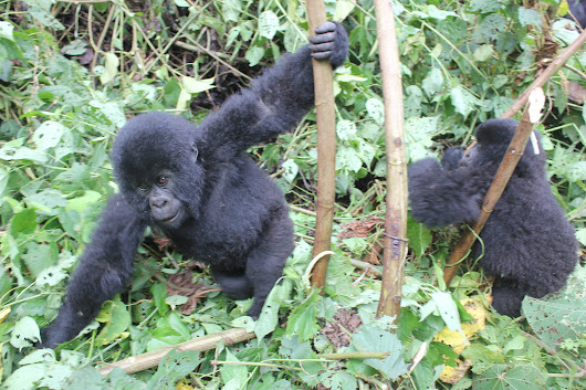 Virunga: Gorilla Trekking in the Congo | The Wanderlust Effect